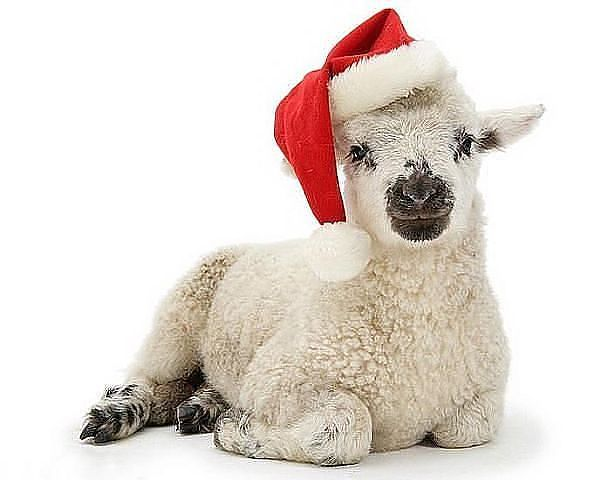 Новогодняя овечка в колпаке. Картинки с символом 2018 года