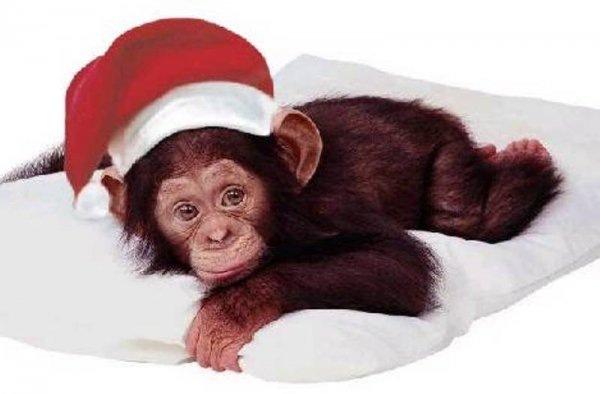 обезьяны 2016 фото. Картинки с символом 2017 года
